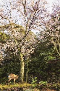 宮島、春の風景(広島県、宮島)の写真素材 [FYI04899951]