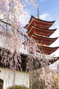 春の宮島、厳島神社(広島県)の写真素材 [FYI04899963]