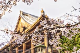 豊国神社(千畳閣)と桜(広島県、宮島)の写真素材 [FYI04899964]