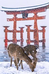 雪化粧した厳島神社、大鳥居の写真素材 [FYI04900041]