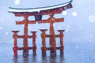 雪化粧した厳島神社、大鳥居の写真素材 [FYI04900042]