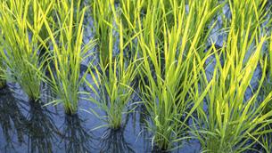 【農業】米の水田 田植えの写真素材 [FYI04900189]