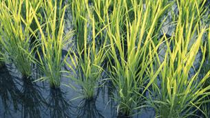 【農業】米の水田 田植えの写真素材 [FYI04900190]