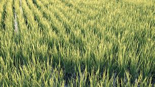 【農業】米の水田 田植えの写真素材 [FYI04900192]