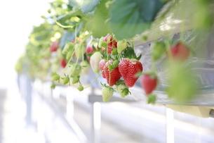 ビニールハウスでのイチゴ栽培の写真素材 [FYI04900197]