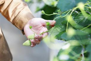 ビニールハウスでのイチゴ栽培の写真素材 [FYI04900200]