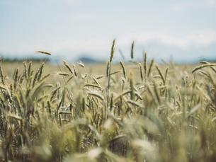小麦畑の写真素材 [FYI04900407]
