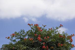 夏空背景のノウゼンカズラの写真素材 [FYI04900422]