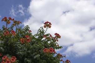 夏空背景のノウゼンカズラの写真素材 [FYI04900423]
