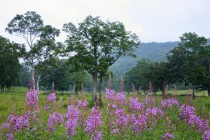 8月 ヤナギラン咲くカヤノ平の写真素材 [FYI04901047]