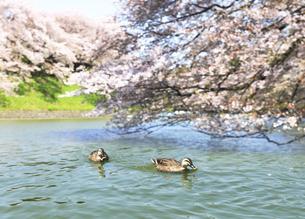 カルガモと千鳥ヶ淵の桜の写真素材 [FYI04901302]