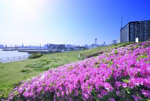 ピンクのツツジの花と東京国際クルーズターミナルの写真素材 [FYI04901306]