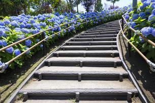お台場シンボルプロムナード公園の紫陽花と階段の写真素材 [FYI04901314]