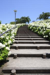 お台場シンボルプロムナード公園のアナベルの花の写真素材 [FYI04901317]