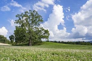 【夏】一本の大きな木の上で入道雲が浮かぶ風景 香川県の写真素材 [FYI04901776]
