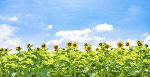 【夏】晴れの日の青空の下の満開のひまわり 向日葵畑の写真素材 [FYI04901781]