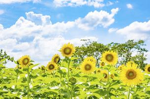 【夏】晴れの日の青空の下の満開のひまわり 向日葵畑の写真素材 [FYI04901813]