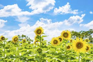 【夏】晴れの日の青空の下の満開のひまわり 向日葵畑の写真素材 [FYI04901814]