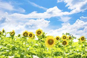 【夏】晴れの日の青空の下の満開のひまわり 向日葵畑の写真素材 [FYI04901815]
