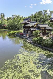 水草が浮く法成就池と善女龍王社を見る神泉苑境内の写真素材 [FYI04901962]