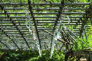 夏を告げる藤棚の風鈴 薬師池公園(東京都町田市)の写真素材 [FYI04902067]