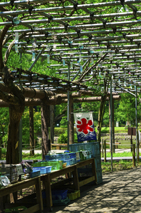 夏を告げる藤棚の風鈴 薬師池公園(東京都町田市)の写真素材 [FYI04902070]