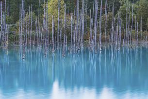 美瑛町・青い池リフレクションの写真素材 [FYI04902164]