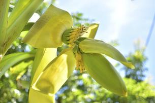 バナナの花と小さな実の写真素材 [FYI04902187]