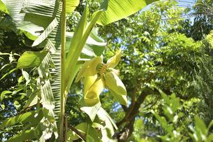 バナナの花と小さな実の写真素材 [FYI04902189]