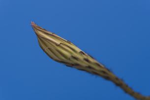 サボテン 花盛丸の蕾の写真素材 [FYI04902192]