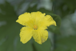 ゴーヤの黄色の花の写真素材 [FYI04902234]