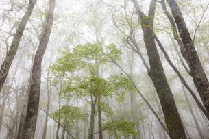 霧の大台ヶ原原生林の写真素材 [FYI04902257]