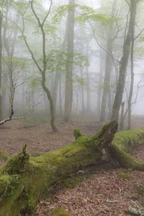 霧の大台ヶ原原生林の写真素材 [FYI04902258]