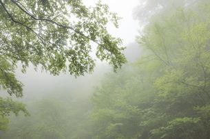 霞む新緑の森の写真素材 [FYI04902261]