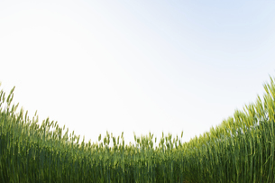 麦畑の写真素材 [FYI04902363]