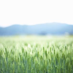 麦畑と山並みの写真素材 [FYI04902364]