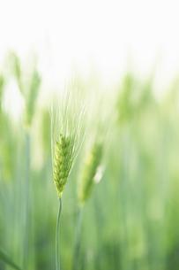 麦の穂のアップの写真素材 [FYI04902366]