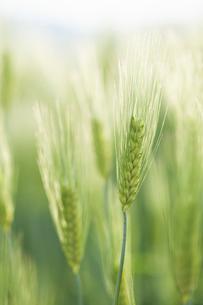 麦の穂のアップの写真素材 [FYI04902367]