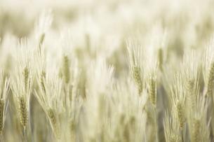 麦の穂のアップの写真素材 [FYI04902368]