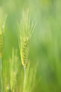 麦の穂のアップの写真素材 [FYI04902369]