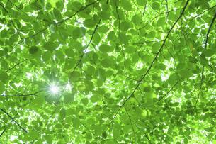 新緑の葉と木漏れ日の写真素材 [FYI04902372]