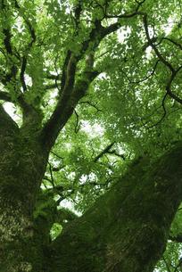 苔むす新緑の大樹の写真素材 [FYI04902394]