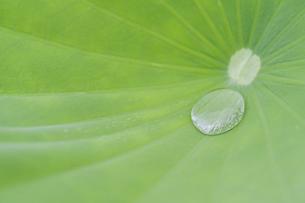 ハスの葉に溜まった水の写真素材 [FYI04902422]