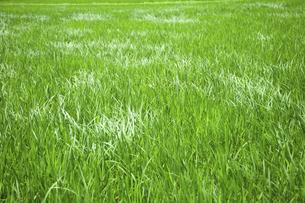 風になびく稲の葉の写真素材 [FYI04902487]