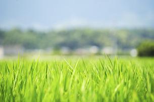 稲の葉と町並みの写真素材 [FYI04902493]