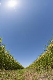 実った稲と青空と太陽の写真素材 [FYI04902495]