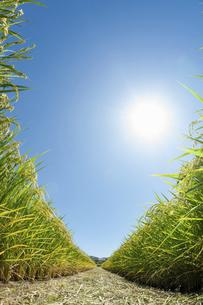 実った稲と青空と太陽の写真素材 [FYI04902496]