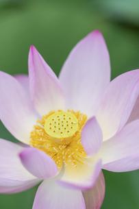 ハスの花のアップの写真素材 [FYI04902530]