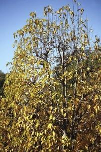 ひっそりと色づくコブシの黄葉の写真素材 [FYI04902611]