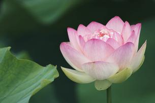 満開のハスの花の写真素材 [FYI04902637]